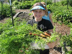 Carrot harvest in Auburn School District